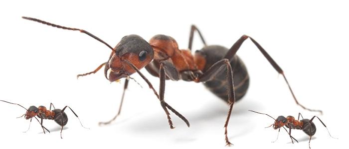 Ant Control Athelstone