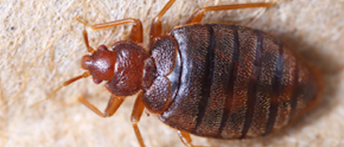 Bed Bug Control Athelstone