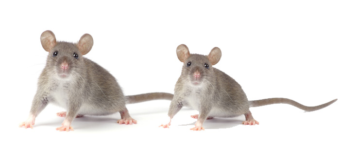 Rodent Control Athelstone